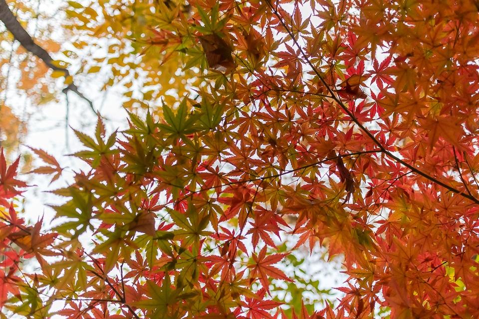 桜通りの紅葉